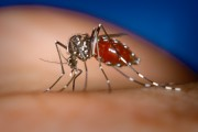 Chikungunya, un nou virus care face prăpăd și nu are tratament! 800.000 de oameni au fost deja infectați
