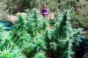 Captură RECORD de cannabis la Sibiu! Peste 50 de kilograme de droguri au confiscat poliţiştii
