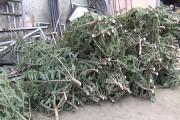 160 de brazi de Crăciun au fost confiscați la Beliș