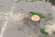 FOTO - Copacii de pe strada Horea sunt tăiați!  Locuitorii din zonă sunt extrem de revoltați, iar municipalitatea nu știe nimic