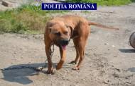 Cămătarii se folosesc de pitbulli pentru a-și intimida victimele. Patru câini au fost ridicați la percheziții și 6.000 de euro