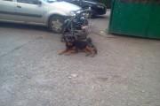 FOTO - Acest câine bine îngrijit ar putea fi al cuiva. Un clujean l-a fotografiat legat de căruțul unui boschetar