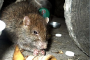 FOTO - Mănășturul, invadat de șobolani. Locatarii unui bloc s-au baricadat în apartamente