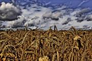 19 țări europene intenționează să interzică culturile de OMG. România nu s-a pronunțat