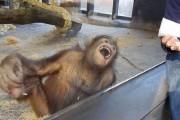 VIDEO - Reacția unei maimuțe păcălite. Vei face ca ea
