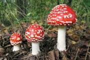 Cum ne ferim de ciupercile otrăvitoare și cât de periculoase sunt