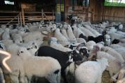 Punct autorizat de vânzare şi sacrificare a mieilor în incita Pieței Agro Transilvania. Cât costă kilogramul de miel