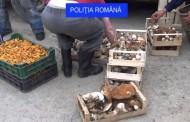 300 de kilograme de ciuperci au confiscat polițiștii din zona de munte a județului Cluj