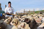 """Eveniment inedit în weekend! """"Împreunatul oilor"""" la Bârlea și Rugășești"""