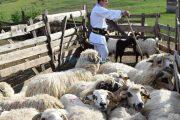 80 de oi furate din Sălaj urmau să fie vândute în Cluj. Cineva le-a stricat planul hoților