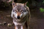 Lupii, atac la stânele din zona de munte a județului Cluj. Zeci de ovine au fost ucise. Cum își recuperează ciobanii pagubele