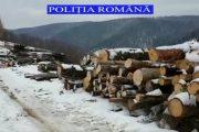 VIDEO - Polițiștii din Beliș, captură uriașă de lemne