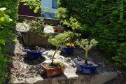 Expoziție de bonsai la Grădina Botanică