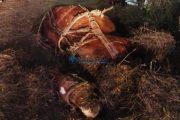 FOTO - Accident MORTAL la ieșire din Deușu. Căruțașul și calul au murit. Șoferul care i-a ucis era băut