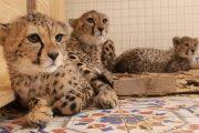 Specialiștii USAMV Cluj vor activa la un adăpost din Africa, de feline sălbatice confiscate