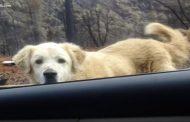 VIDEO - Madison, povestea câinelui care și-a așteptat stăpâna o lună lângă casa arsă